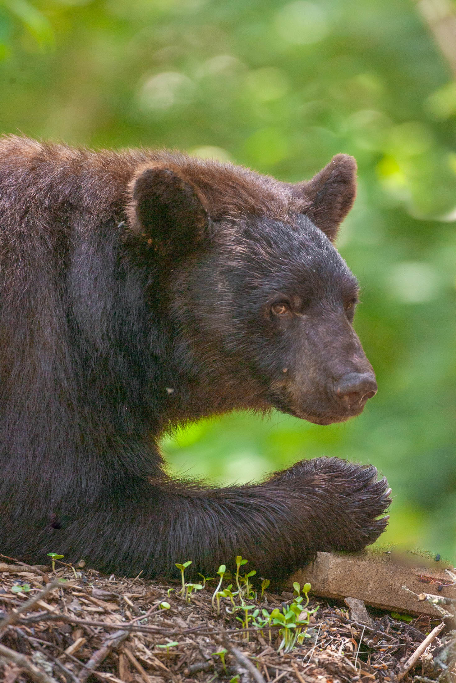 Black Bear 7-1 eating Photo  Limited Edition of 100 prints These bear photographs are offered as high-quality prints for sale...