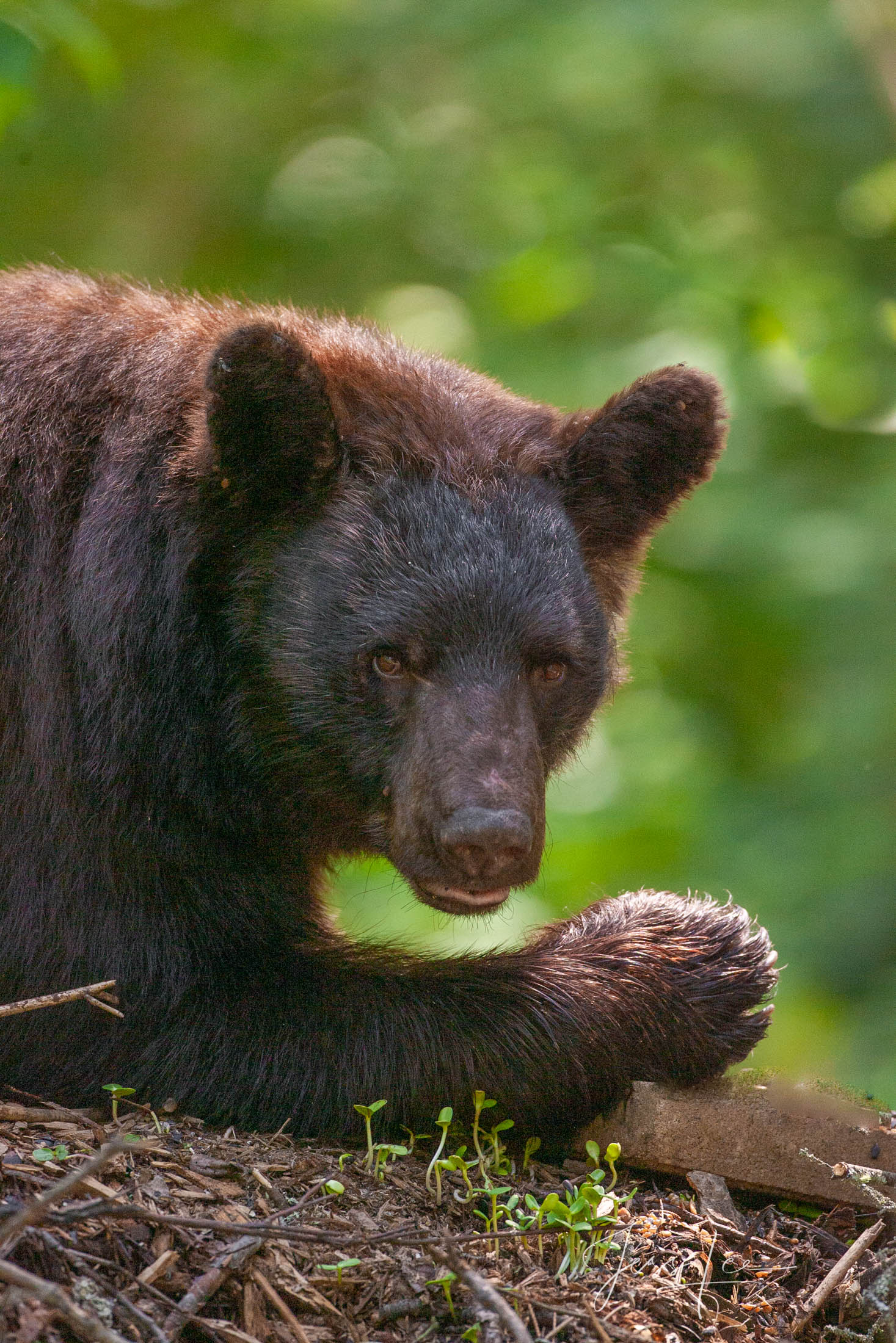 Black Bear Stare Photo  Limited Edition Picture of 100 prints These bear photographs are offered as high-quality prints for sale...