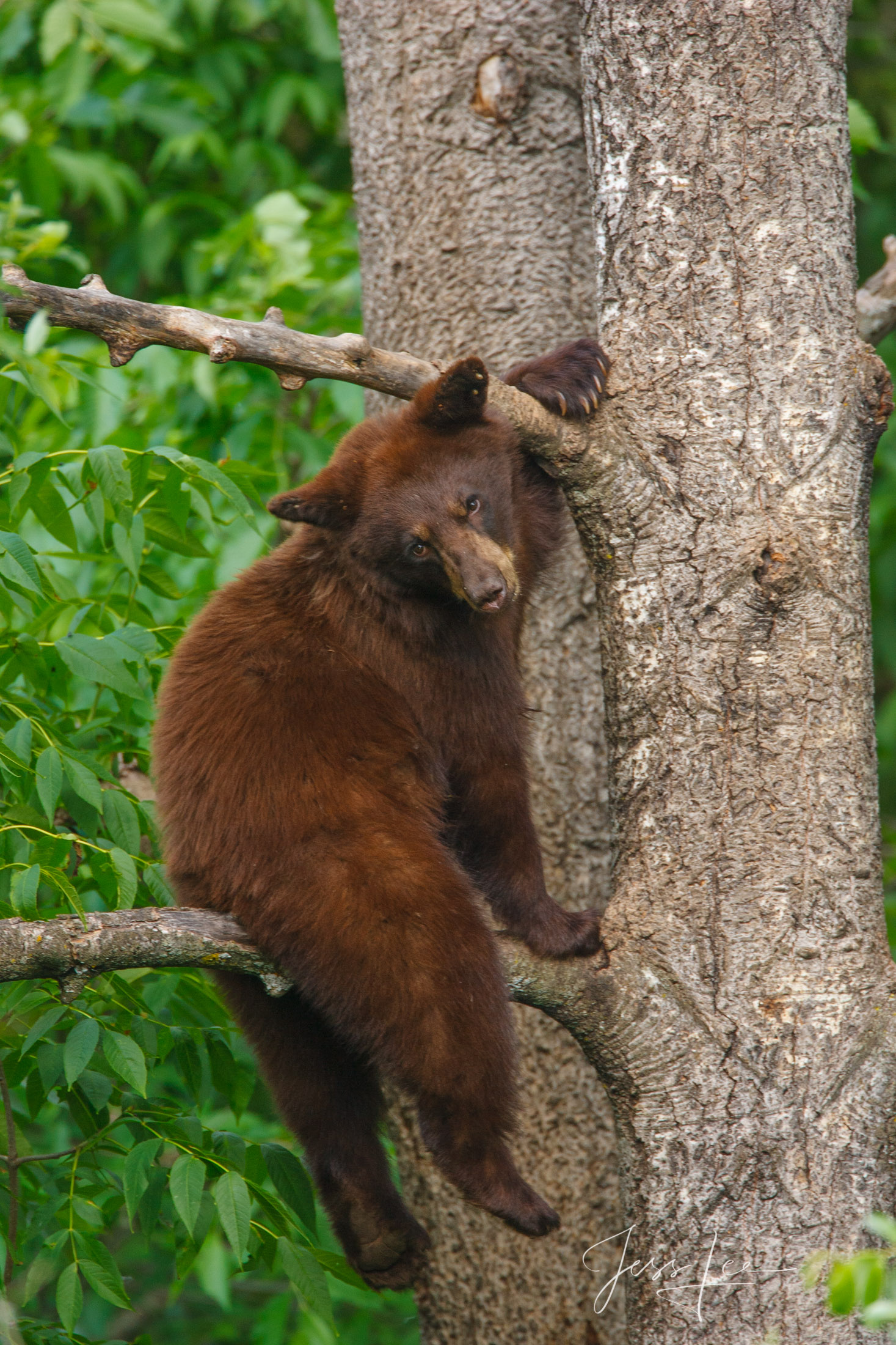 Black Bear cub on a tree  Limited Edition Picture These bear photographs are offered as high-quality prints for sale as created...