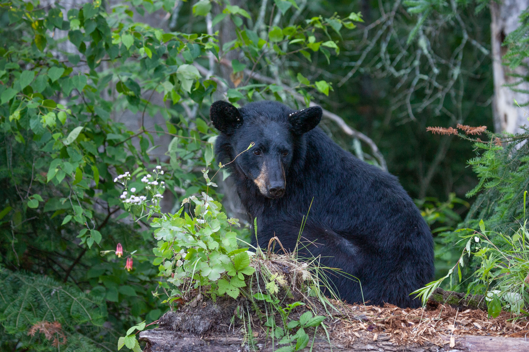 Black bear, Ursus americanus, North America , Picture, photo