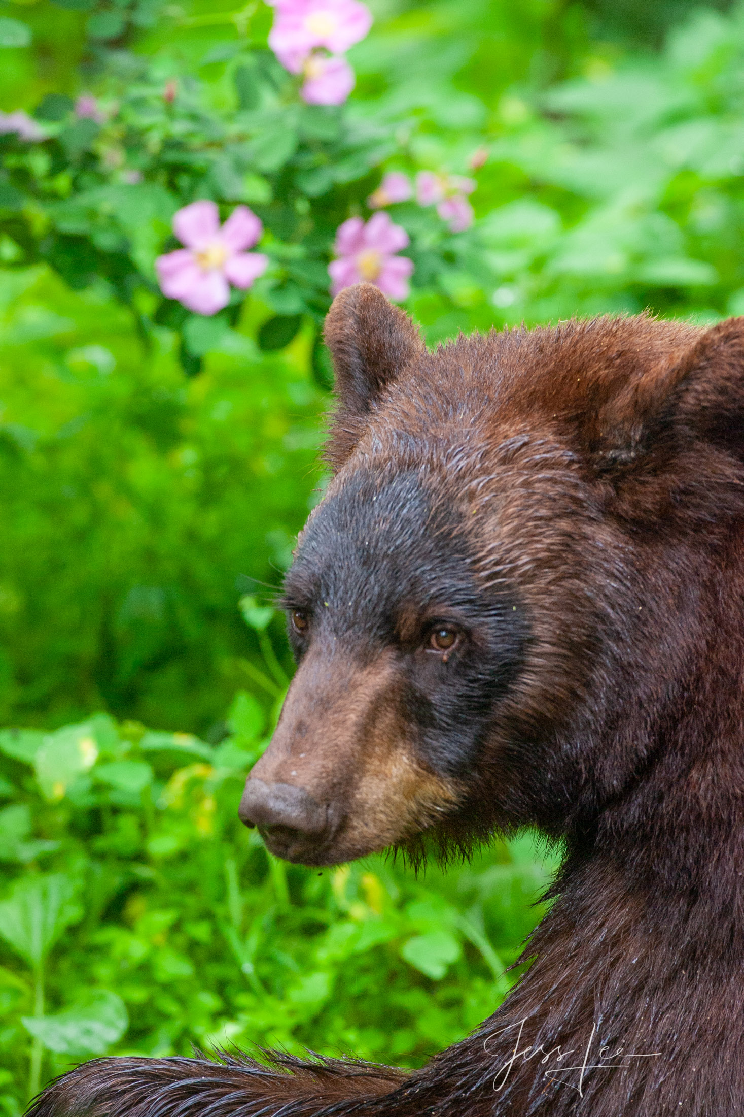 Black Bear Headshot Photo  Limited Edition Picture These bear photographs are offered as high-quality prints for sale as created...
