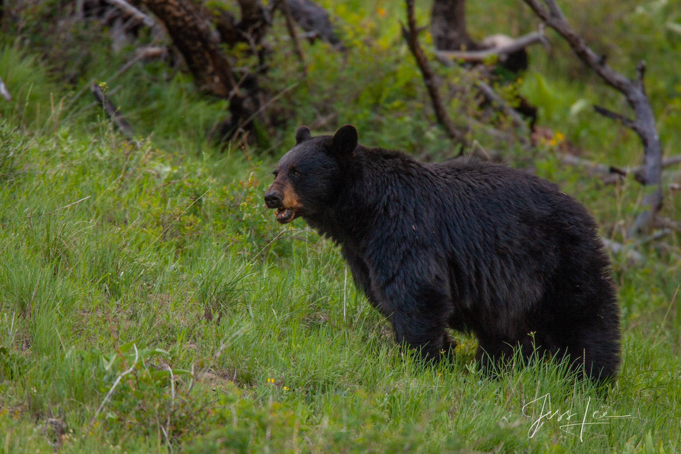 Fat Black Bear Photo  Limited Edition Picture. These bear photographs are offered as high-quality prints for sale as created...