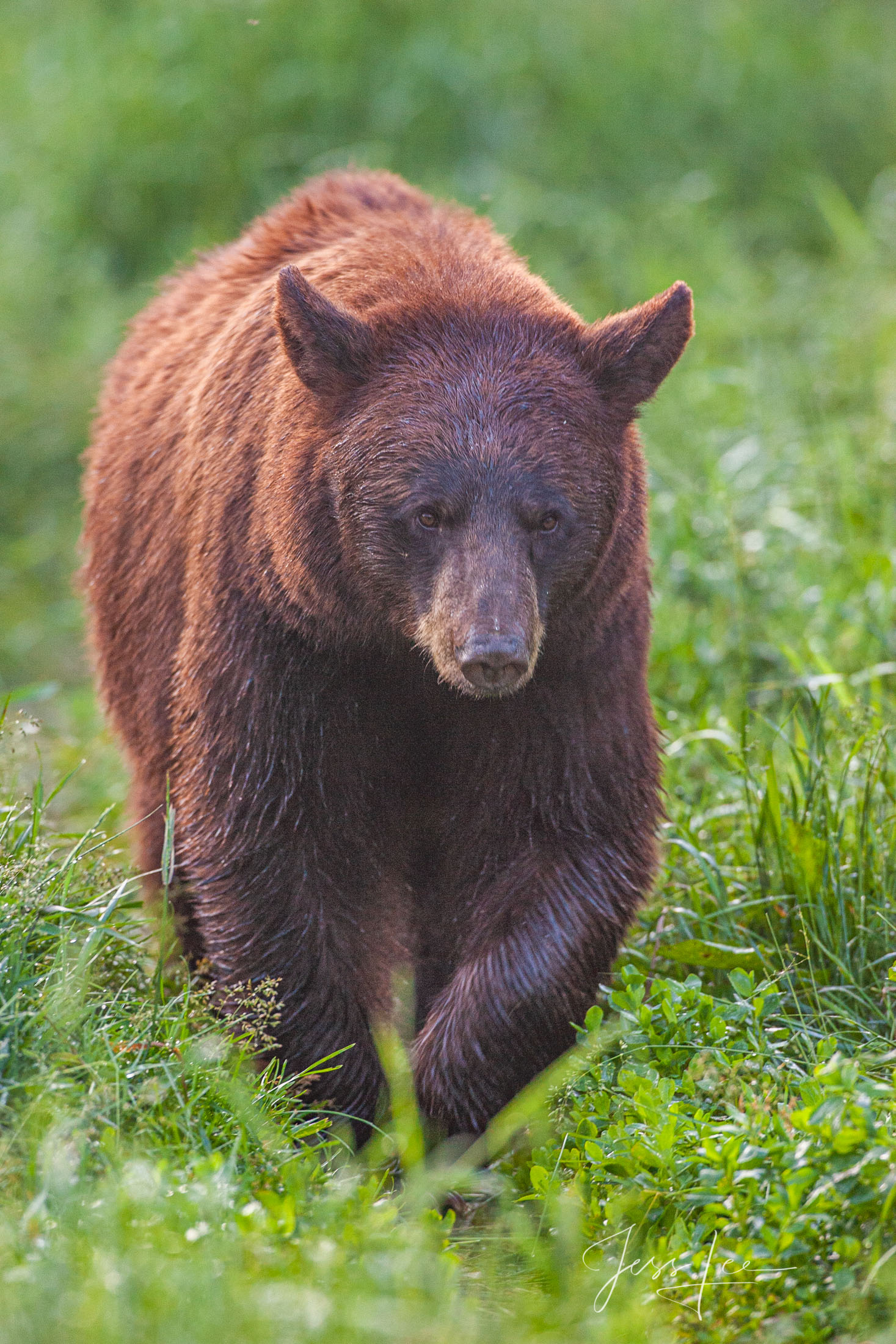 Red Black Bear Photo  Limited Edition Print. These bear photographs are offered as high-quality prints for sale as created by...