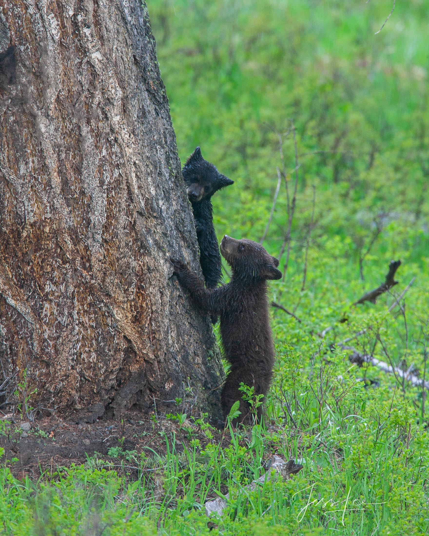 Black Bear cus at a tree, photo  Limited Edition of 300 prints. These bear photographs are offered as high-quality prints for...