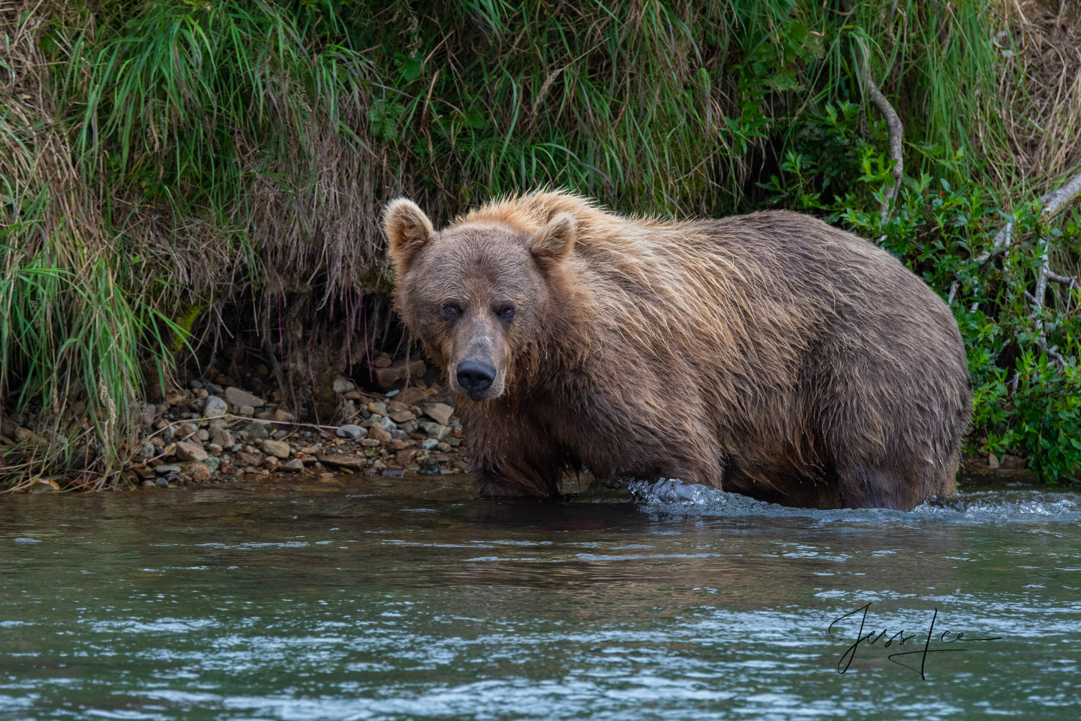 Katmai, Bear, grizzle, fishing, salmon, , Grizzly grizzlies, Brown Bear, Picture, Print, photo
