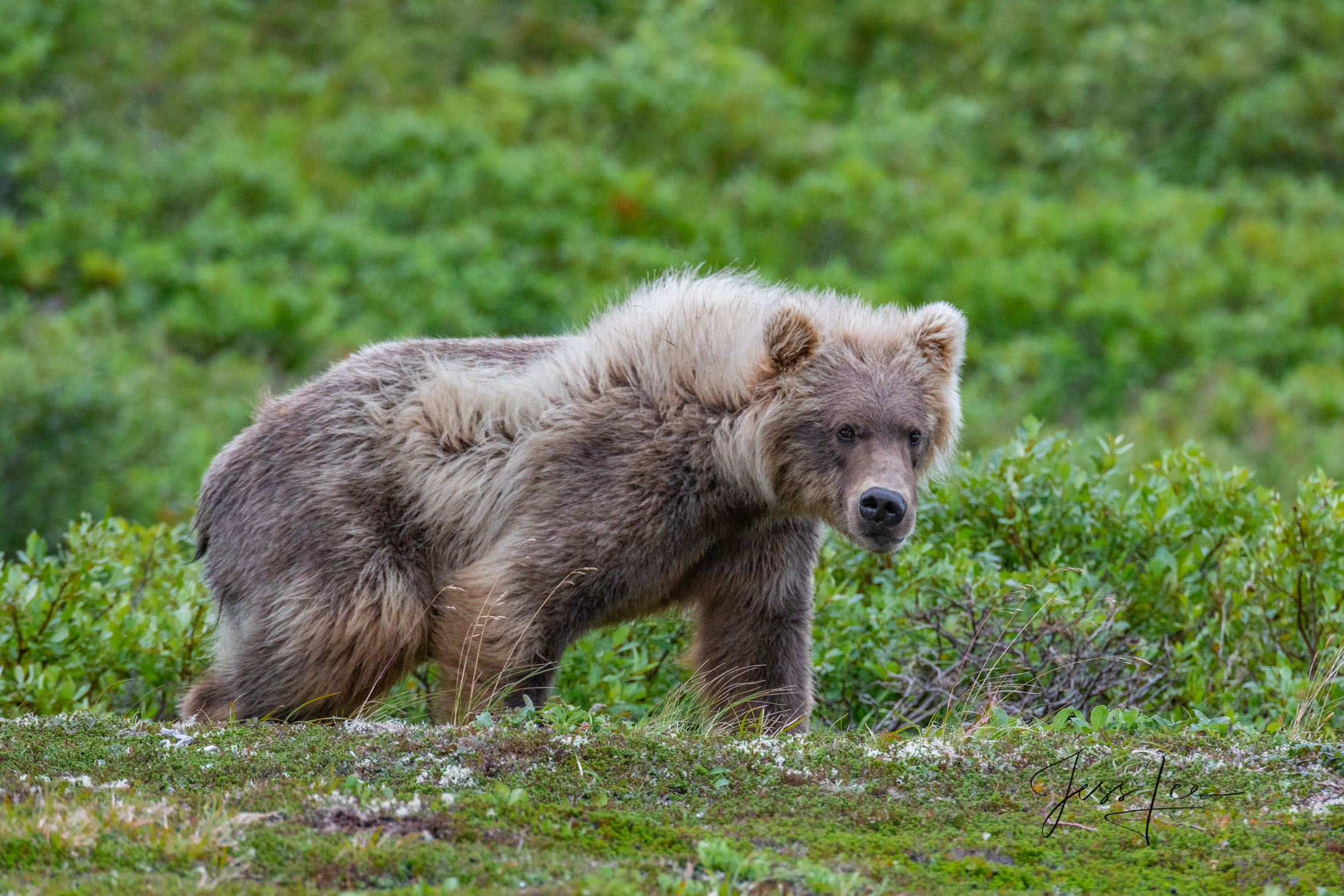 Grizzly / Brown Bear,  Limited Edition Picture