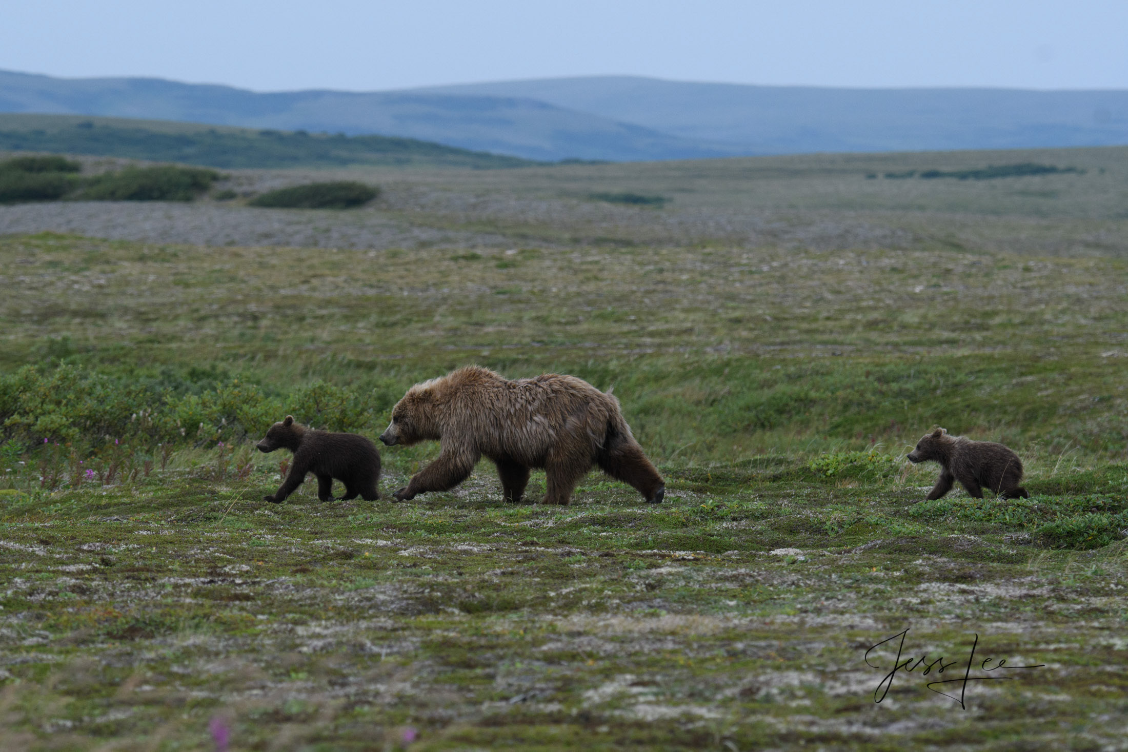 cubs, sow, mother, Katmai, bears, , Bear, grizzle, fishing, salmon, photo