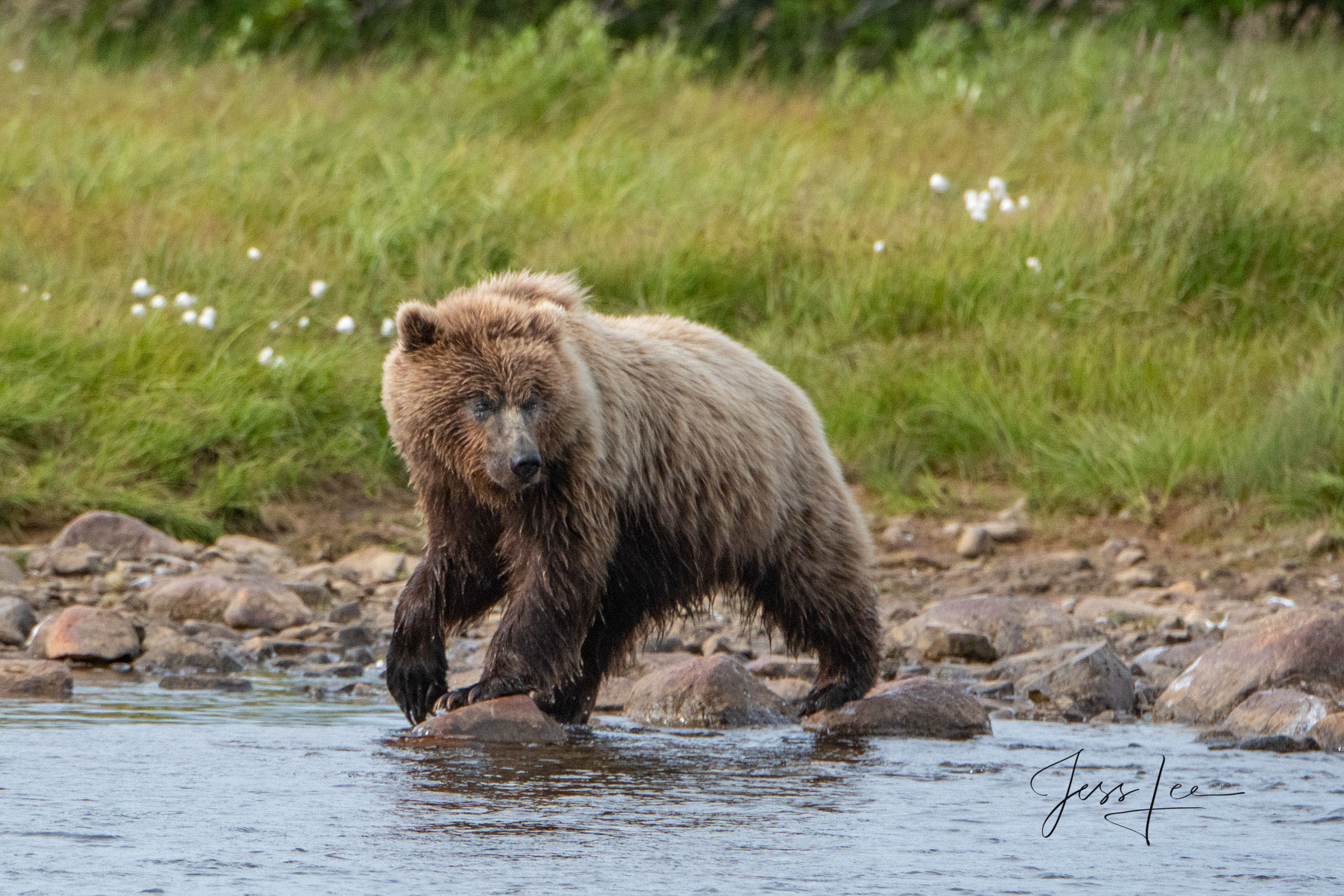 Grizzly / Brown Bear,  Limited Edition Photography