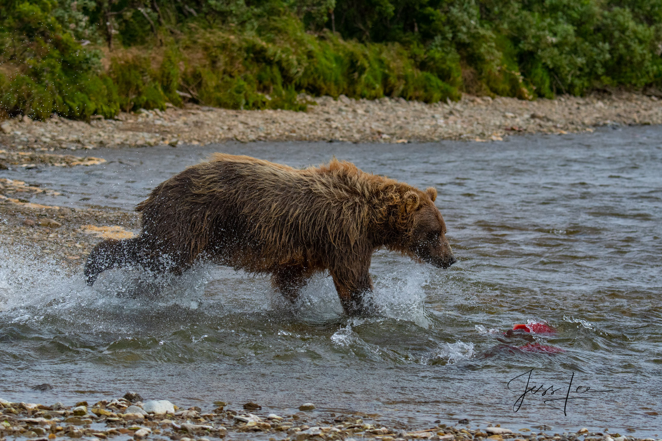 Grizzly / Brown Bear,  Limited Edition Photo