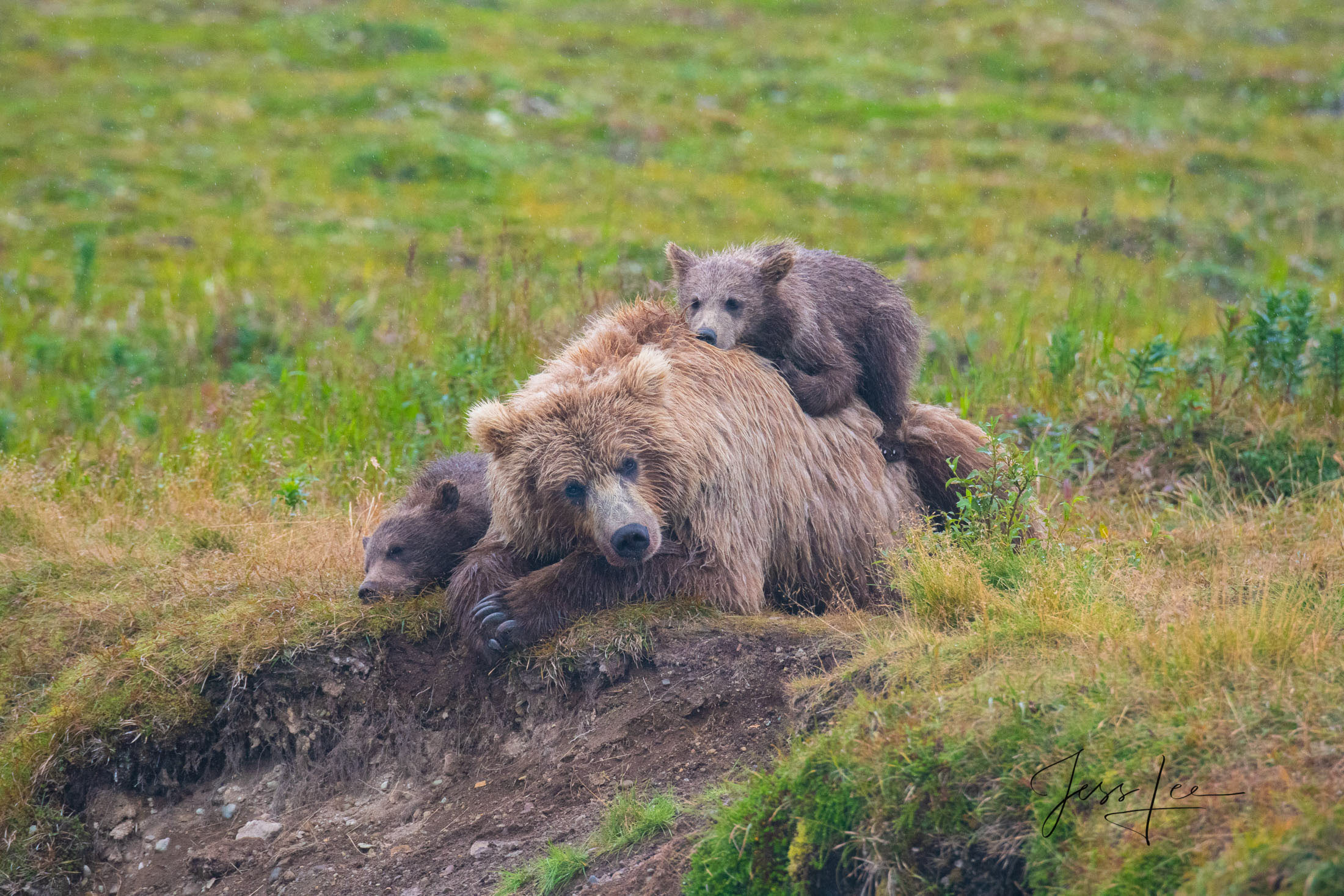 Picture of Grizzly Bear