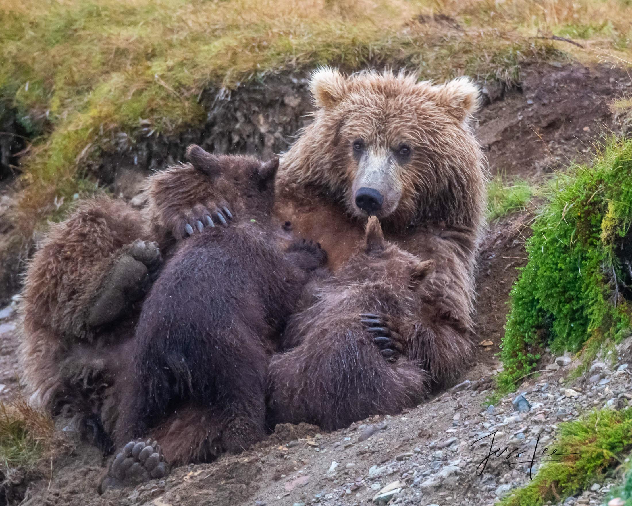 cubs, sow, mother, Katmai, bears, , Bear, grizzle, fishing, salmon, Grizzly Bear Photograph, Grizzly bear picture, Grizzly bear print, photo