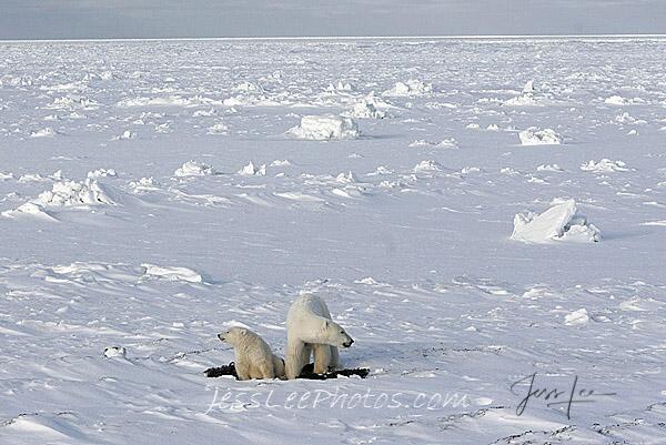 Canada, Hudsons bay, arctic, arctic Canada, bear, bears, churchill, mammal, Manitoba, marine, polar, polar bear, polar bears, photo