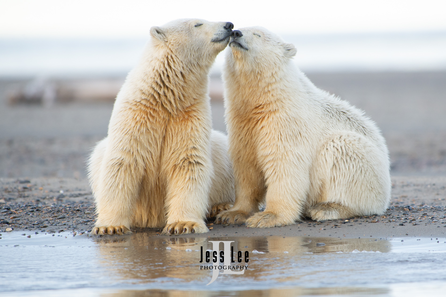 Polar bear in warming arctic, arctic National wildlife refuge, bear, bears, churchill, mammal, Alaska, marine, polar, polar bear, polar bears, ANWR,, photo