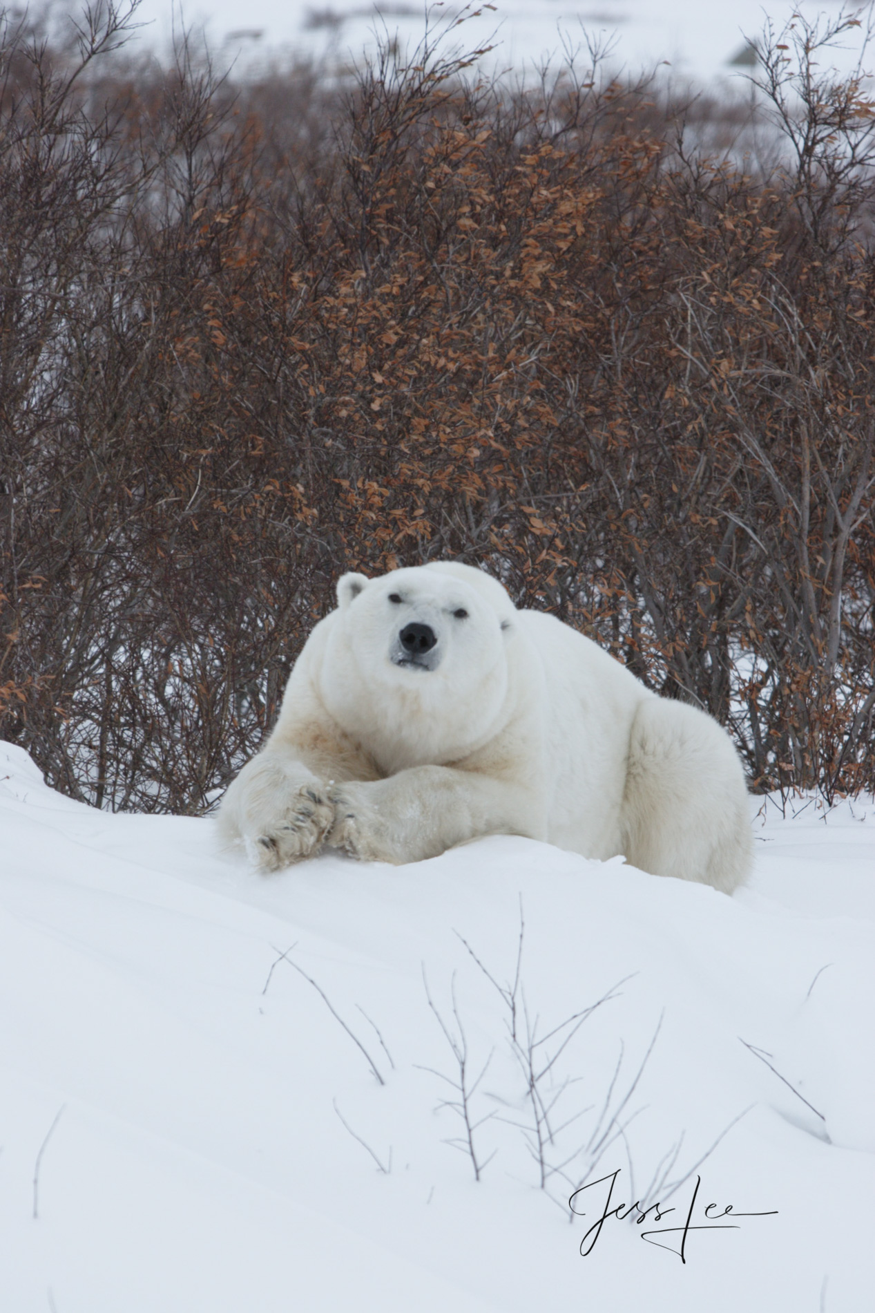 Canada, Hudsons bay, arctic, arctic Canada, bear, bears, churchill, mammal, Manitoba, marine, polar, polar bear, polar bears, photo