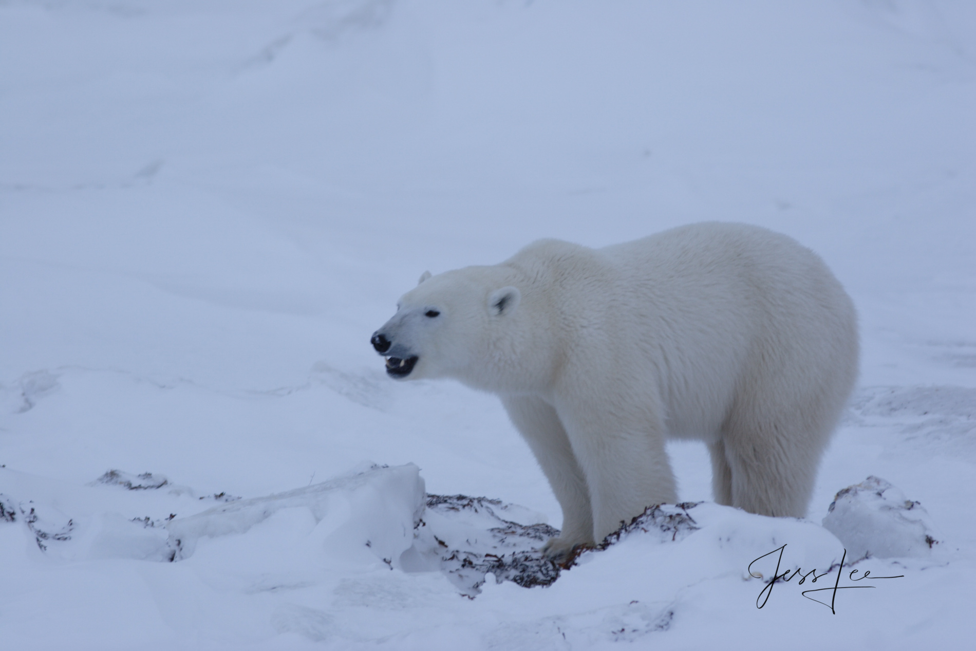 Canada Polar bear in warming Hudsons bay, arctic, arctic Canada, bear, bears, churchill, mammal, Manitoba, marine, polar, polar bear, polar bears, photo