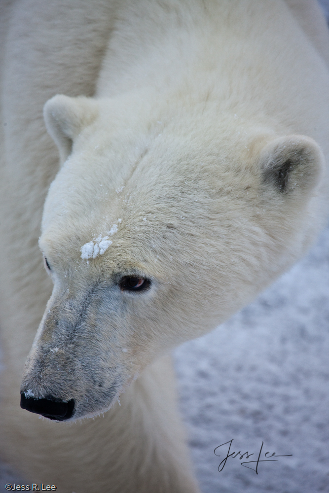 Canadian Polar bear in Hudsons bay, arctic, arctic.Cananda, bear, bears, churchill, mammal, manatoba, marine, polar, polar bear, polar bears, arctic Canada, Manitoba, photo