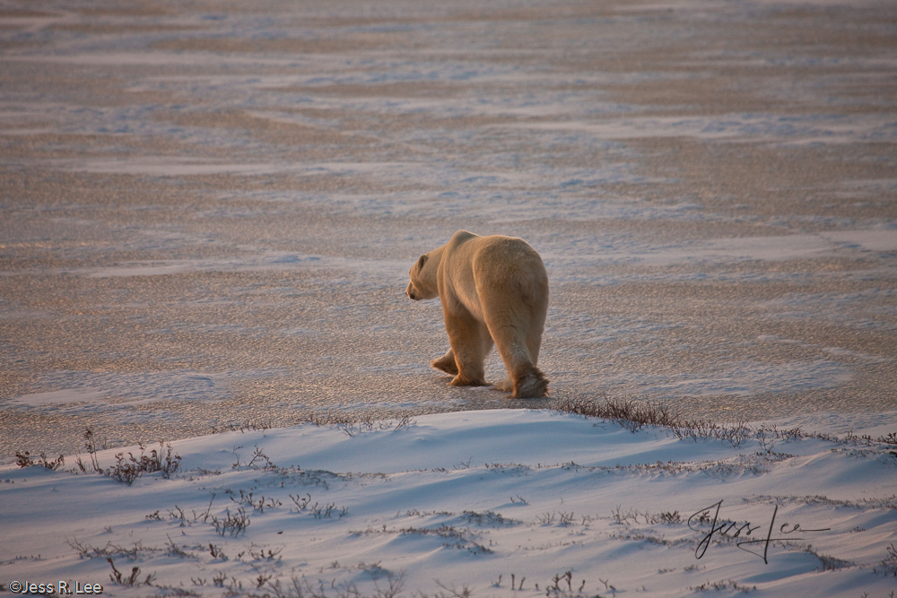 Polar bear in Canada, Hudsons bay, arctic, arctic Canada, bear, bears, churchill, mammal, Manitoba, marine, polar, polar bear, polar bears, arctic Canada, Manitoba, photo