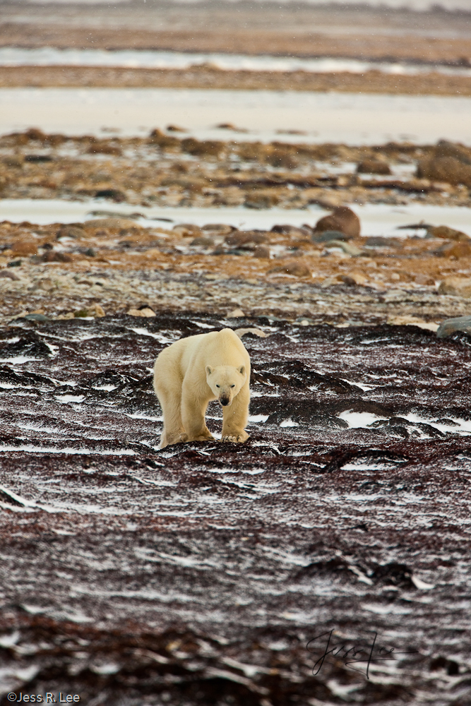 Polar bear in arctic Canada,, photo