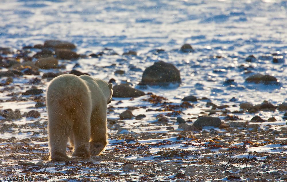 Canada, Hudsons bay, arctic, arctic.Cananda, bear, bears, churchill, mammal, manatoba, marine, polar, polar bear, polar bears, arctic Canada, Manitoba, photo