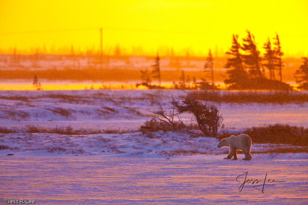 Polar Bear picture taken in Arctic Canada,, photo