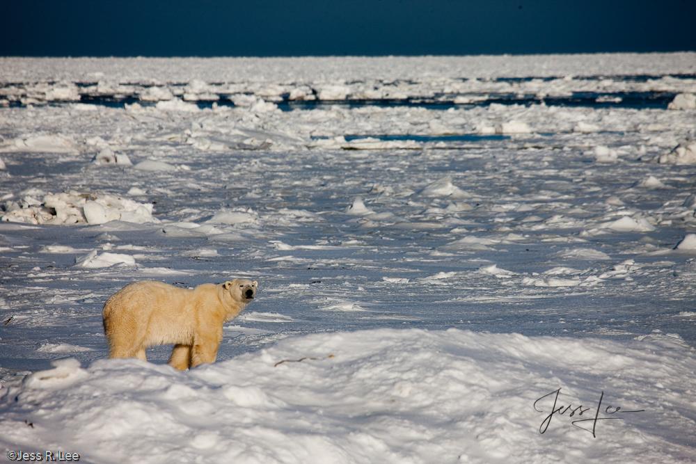 Polar Bear picture taken in Arctic Canada,, photo