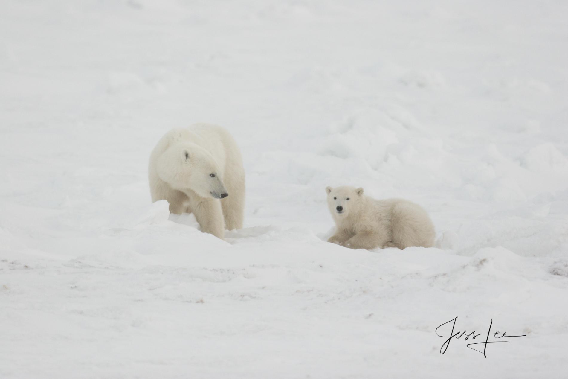 Canada Polar bear in warming Hudsons bay, arctic, arctic Canada, bear, bears, churchill, mammal, Manitoba, marine, polar, polar bear, polar bears, photo