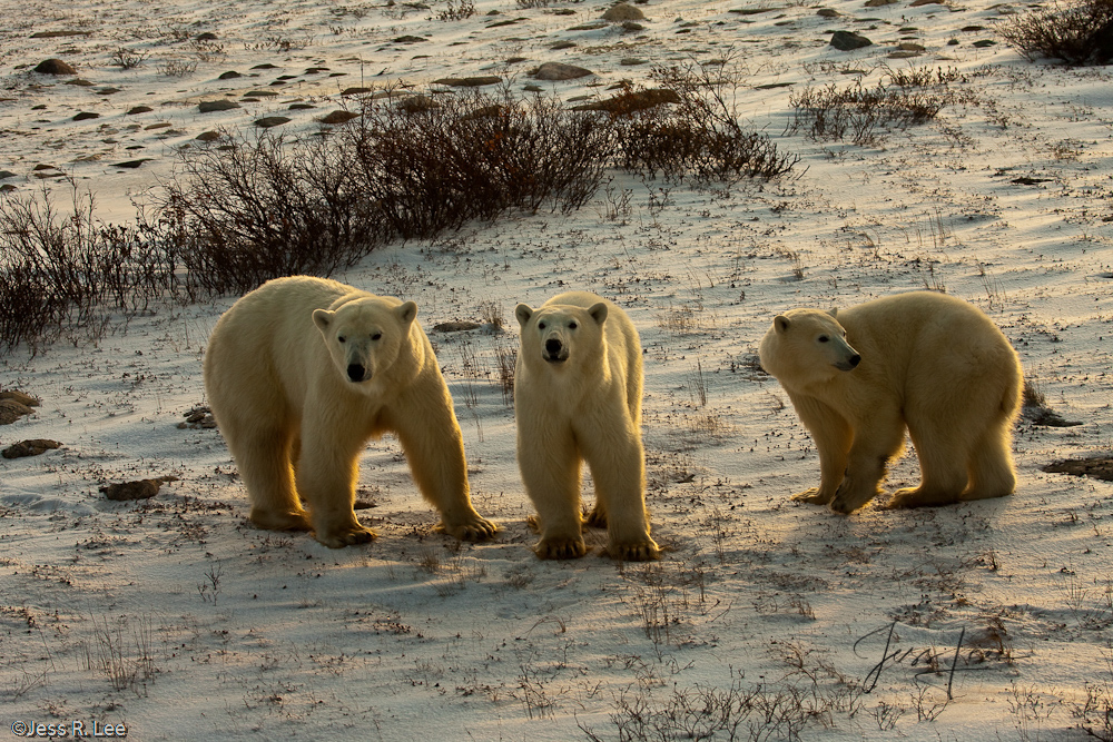 Polar Bear photograph taken in Arctic Canada,, photo