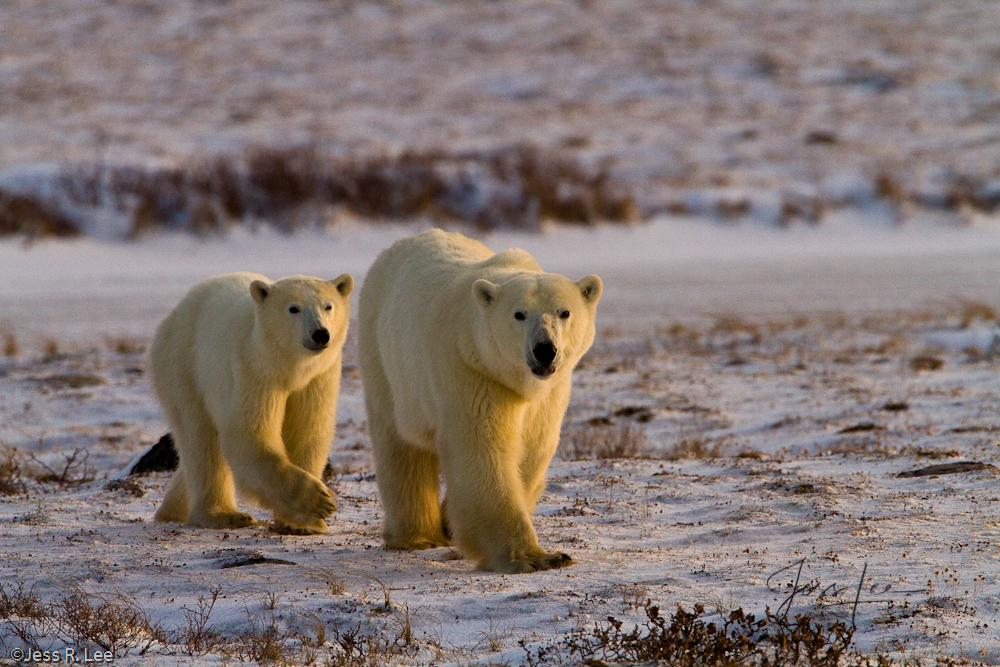 Polar Bears picture taken in Arctic Canada,, photo