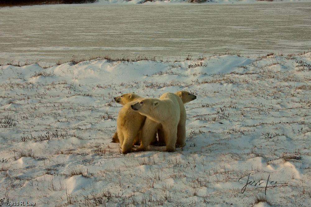 Polar Bears pictured in Arctic Canada,, photo