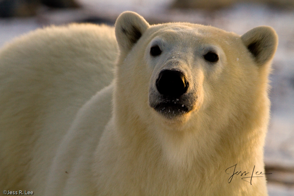Polar Bears can give a chilling look Churchill, Hudsons Bay, Canada