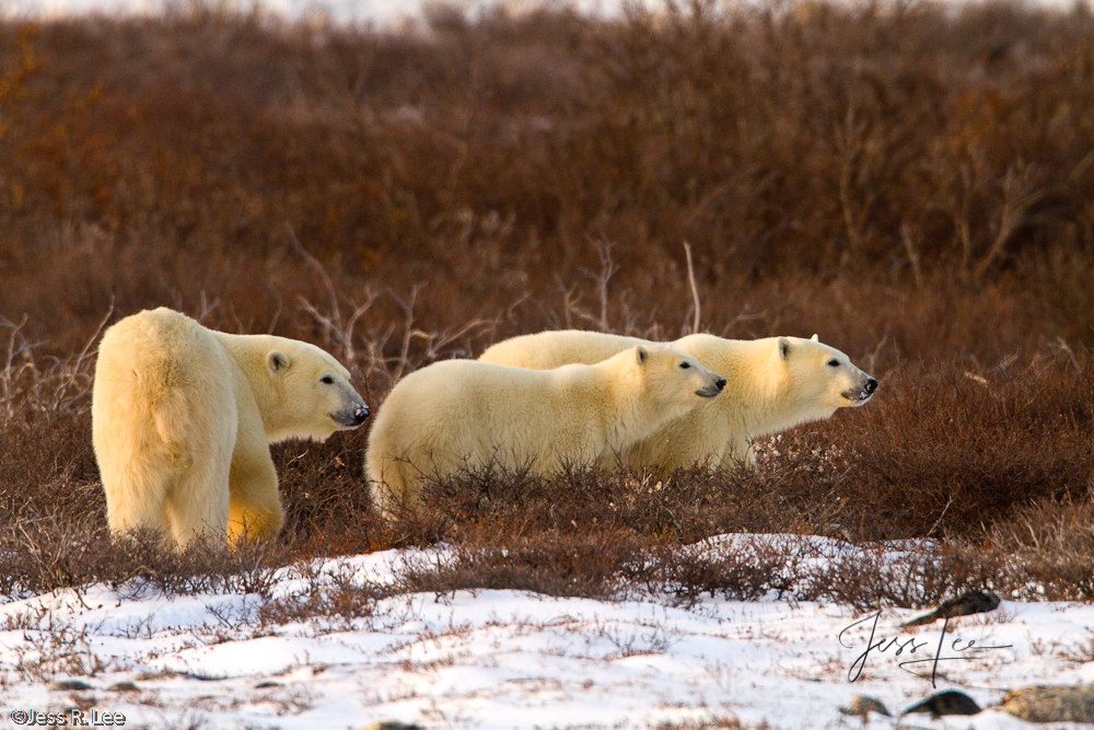 Polar Bear picture taken in Arctic Canada