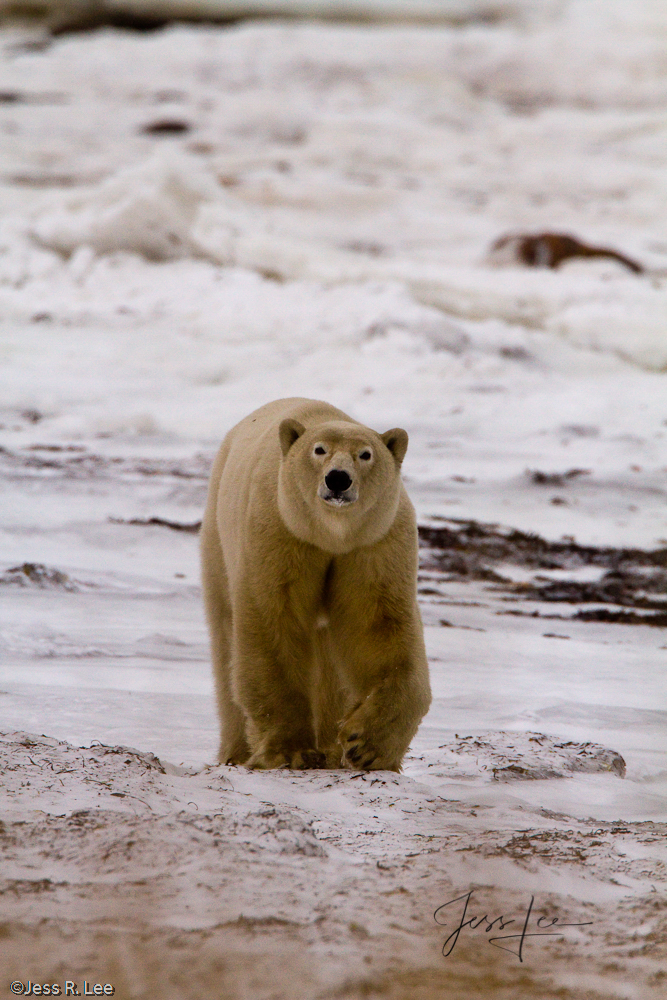 Polar Bear on alert at Churchill, Hudsons Bay, Canada