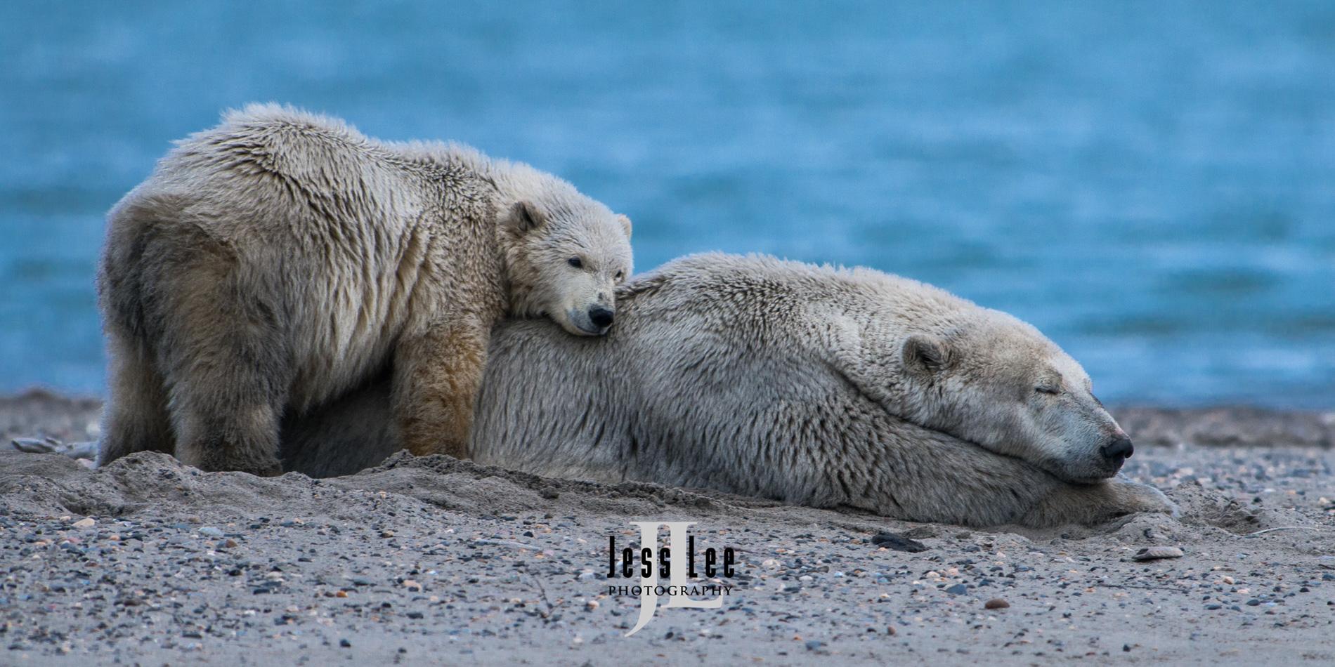 Polar bear in arctic, arctic National wildlife refuge, bear, bears, churchill, mammal, Alaska, marine, polar, polar bear, polar bears, ANWR,, photo