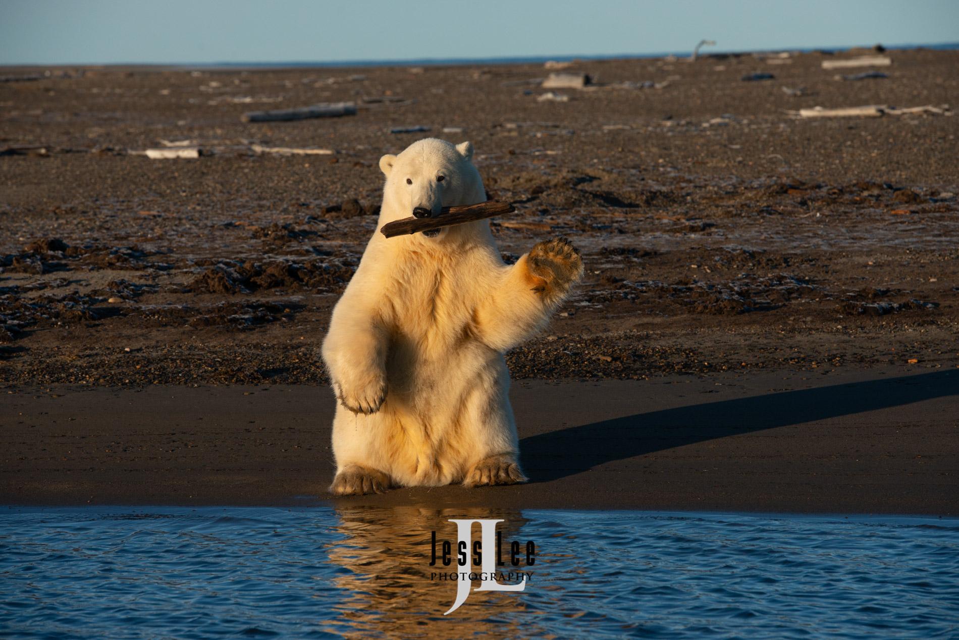 arctic, arctic National wildlife refuge, bear, bears, churchill, mammal, Alaska, marine, polar, polar bear, polar bears, ANWR,, photo
