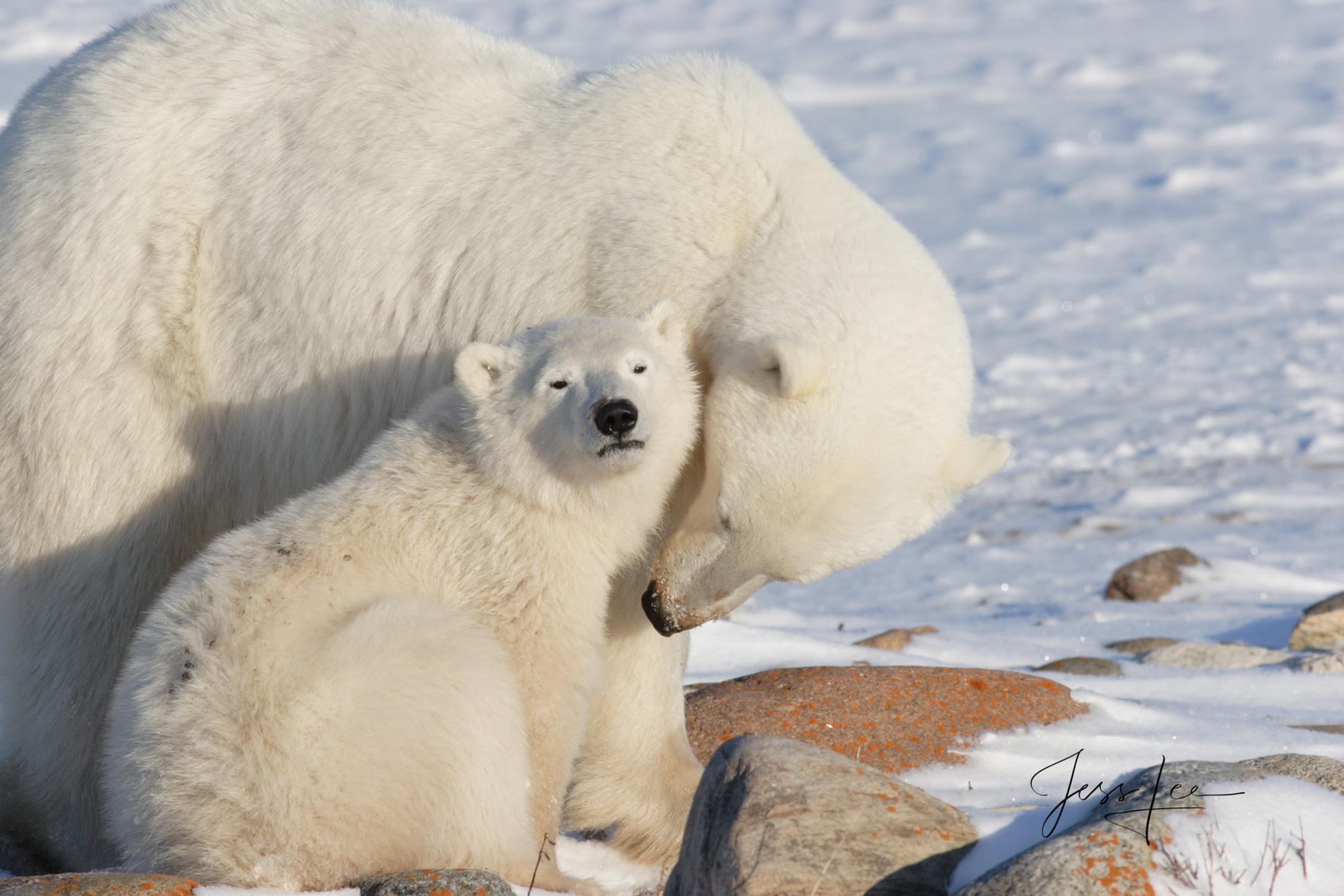 Polar bear in warming, Hudsons bay, arctic, arctic Canada, bear, bears, churchill, mammal, Manitoba, marine, polar, polar bear, polar bears, photo
