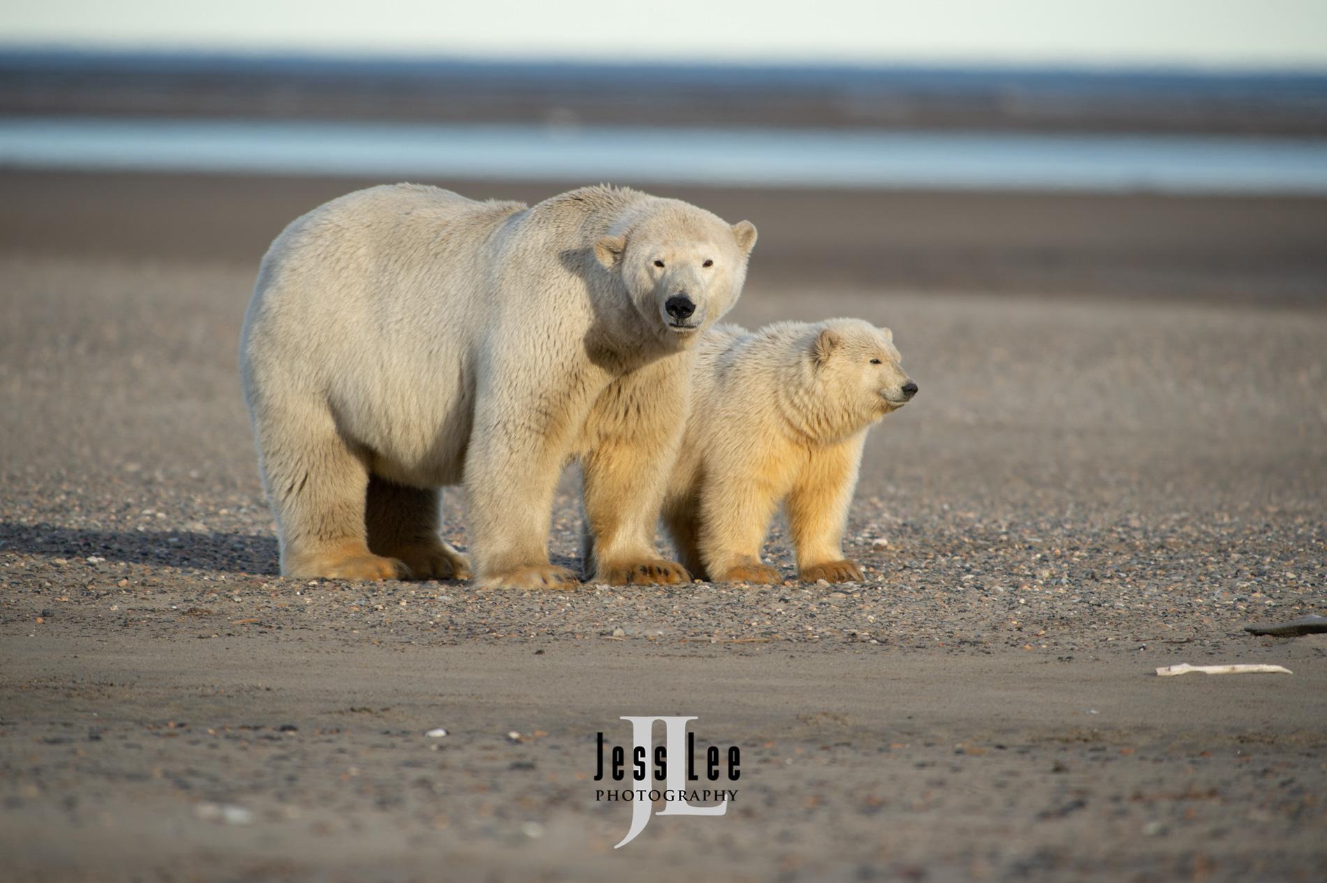 Polar Bear picture taken in Arctic Nation Wildlife refuge,, photo