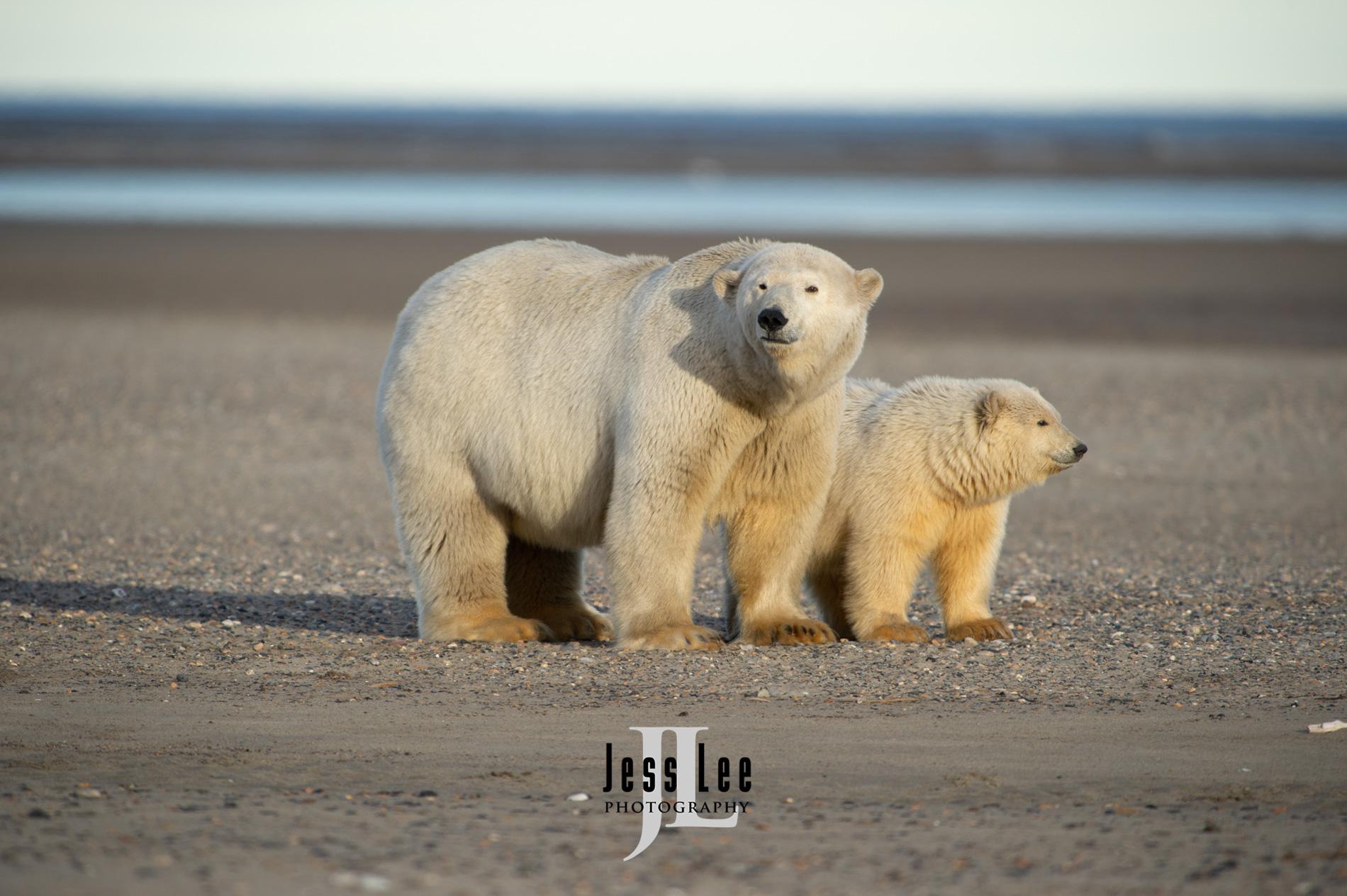 Polar Bears at Anwr,  Arctic National Wild Refuge, Alaska.  ( ANWR )