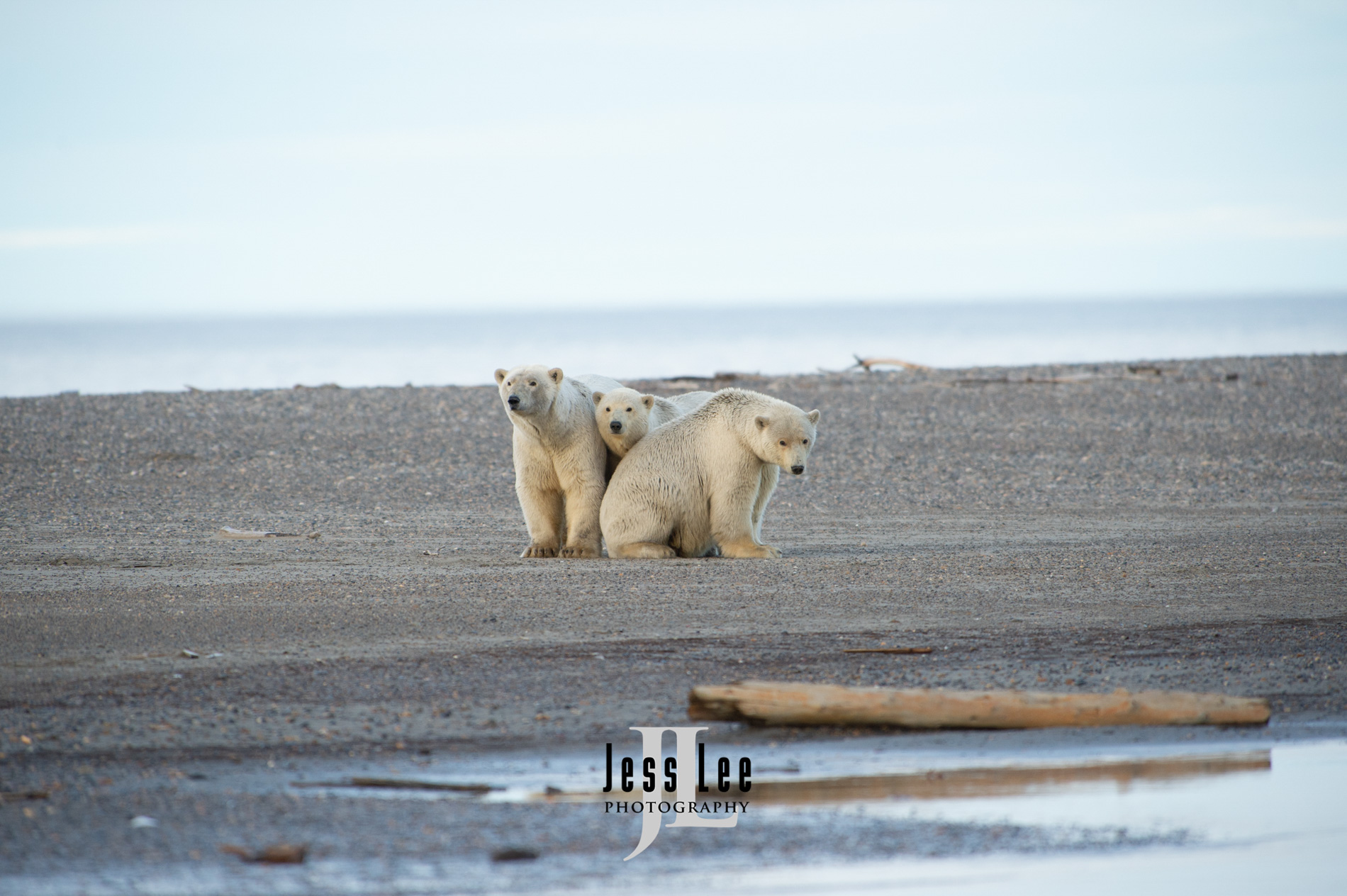 Alaska Polar Bear,arctic, arctic National wildlife refuge, bear, bears, , photo