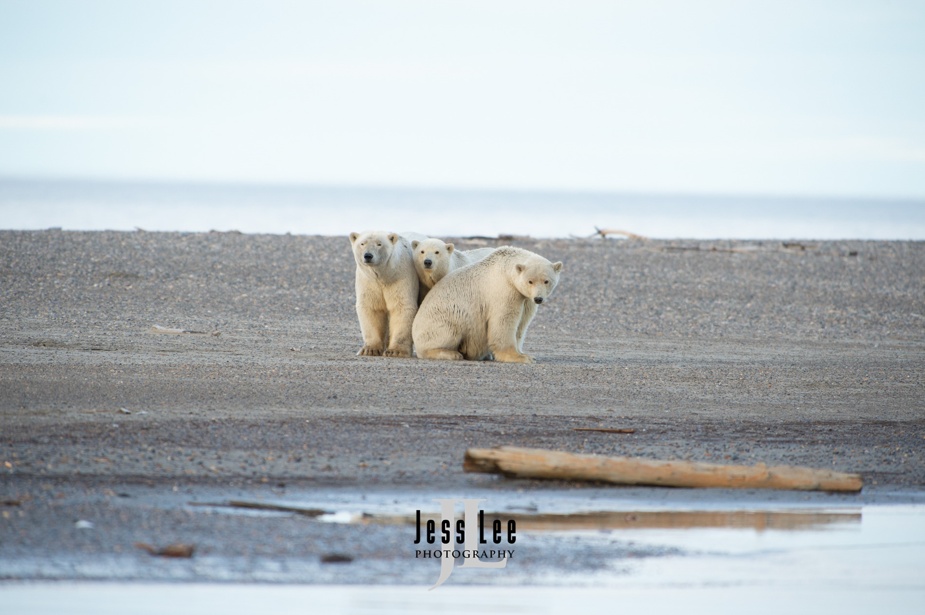 arctic, arctic National wildlife refuge, bear, bears, churchill, mammal, Alaska, marine, polar, polar bear, polar bears, ANWR,, photo
