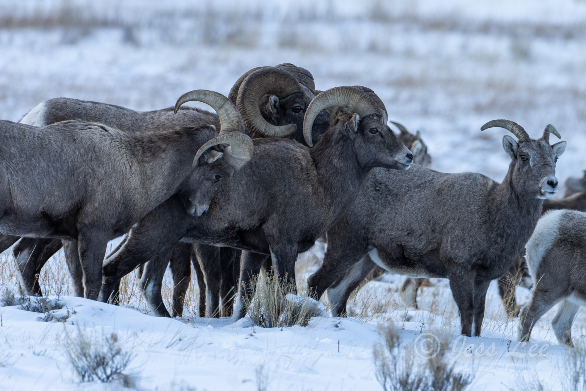 photo of big horn sheep in Grand Tetons, National Park, winter, Wyoming, Jackson Hole, cold, snow, winter, wildlife photography, wilderness, landscape print, fine art prints, high quality, high resolu, photo