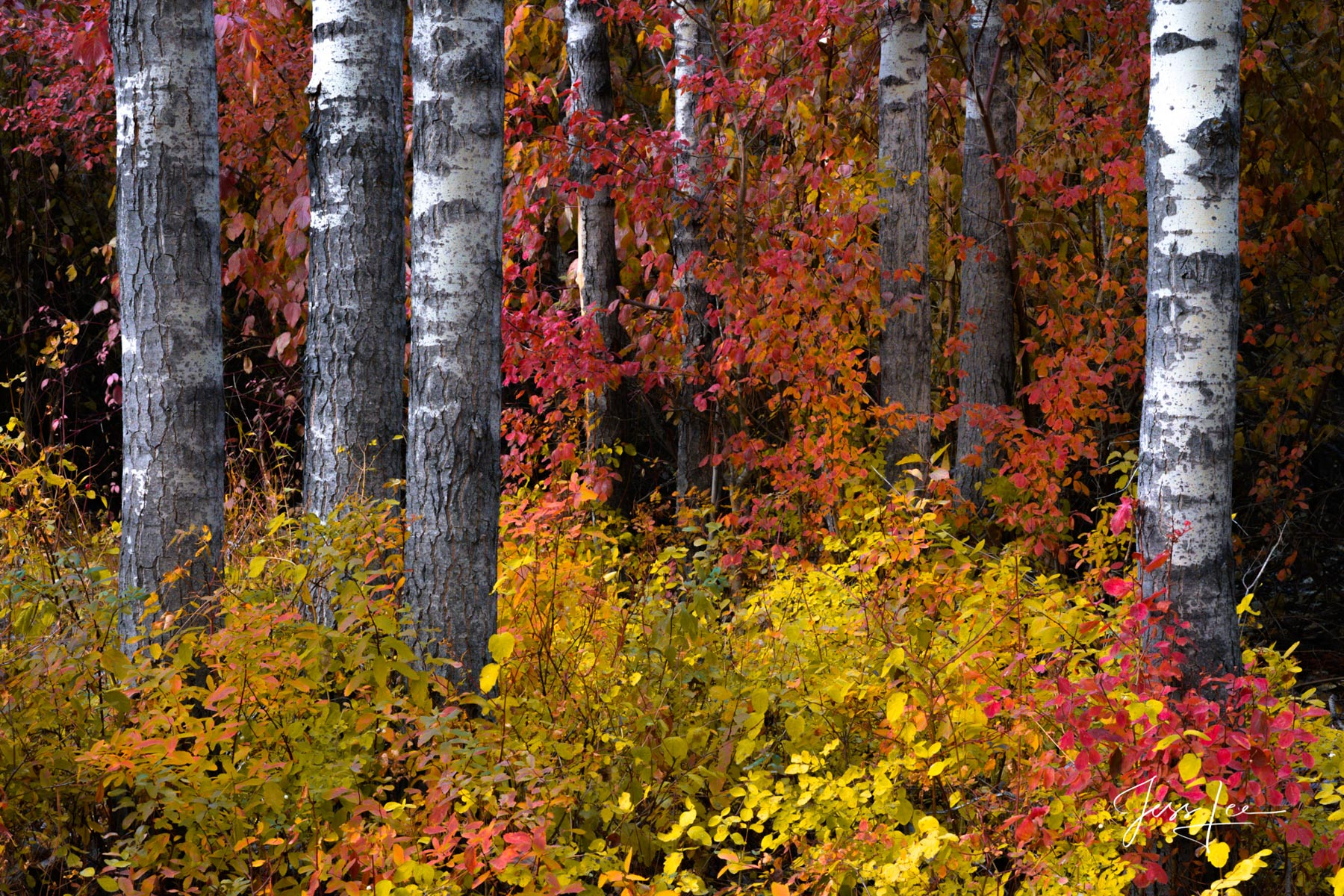 Fine Art Limited Edition of 200 Exclusive high-resolution Museum Quality Photography Prints of this Autumn Birch Tree Forest....