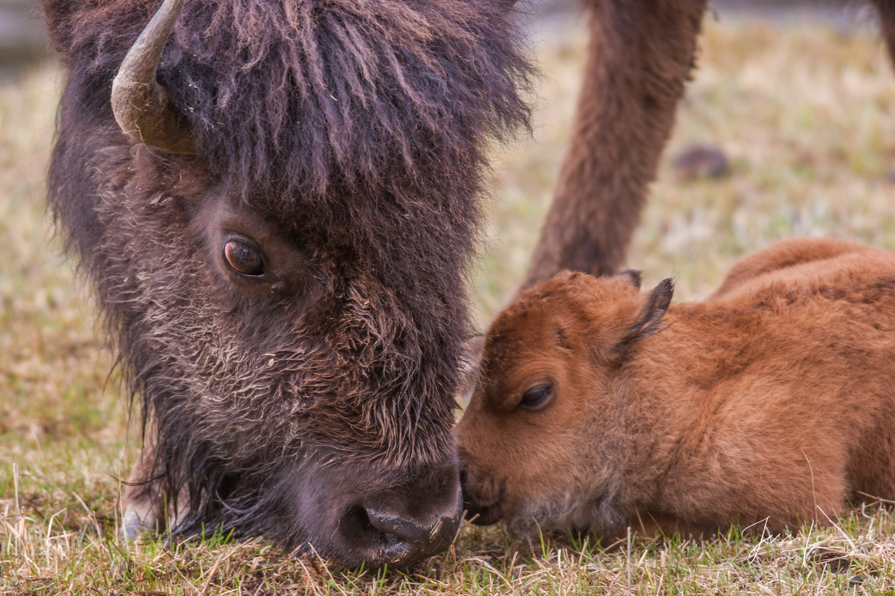 bison cow with a newborn calf, photo