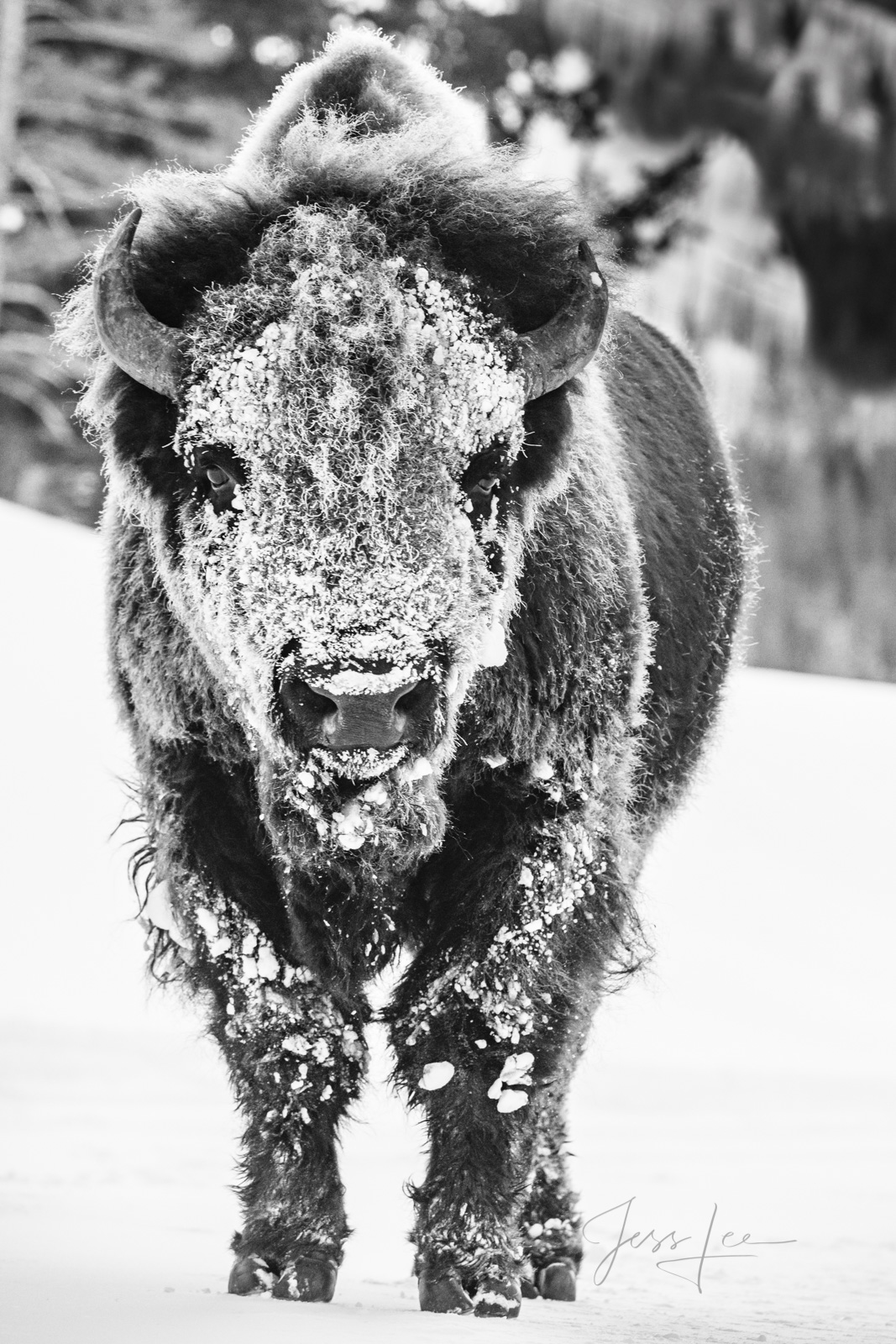 Frozen in Time, Winter in Yellowstone. Limited edition Fine Art Print of a Bison covered in snow. Yellowstone Bison or American...