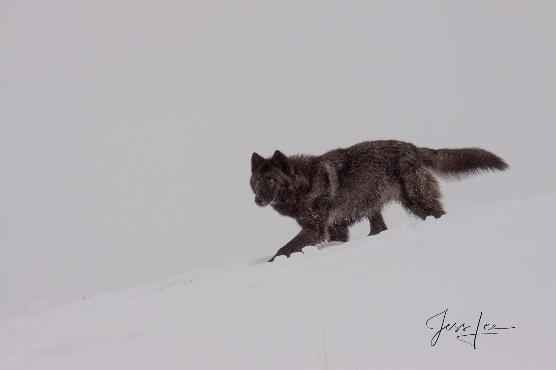 Wolves, wild, predator, , Yellowstone, national park, photograph, picture, print, collectable, wold, pack, photo