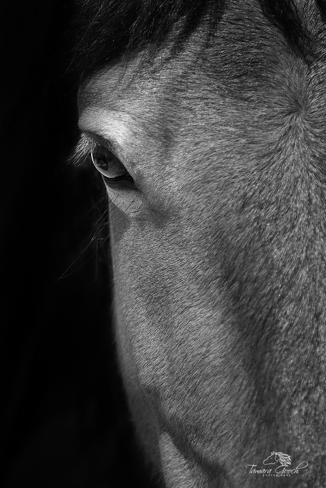 A fine art black and white horse portrait. A close up eye shot with part of the face.