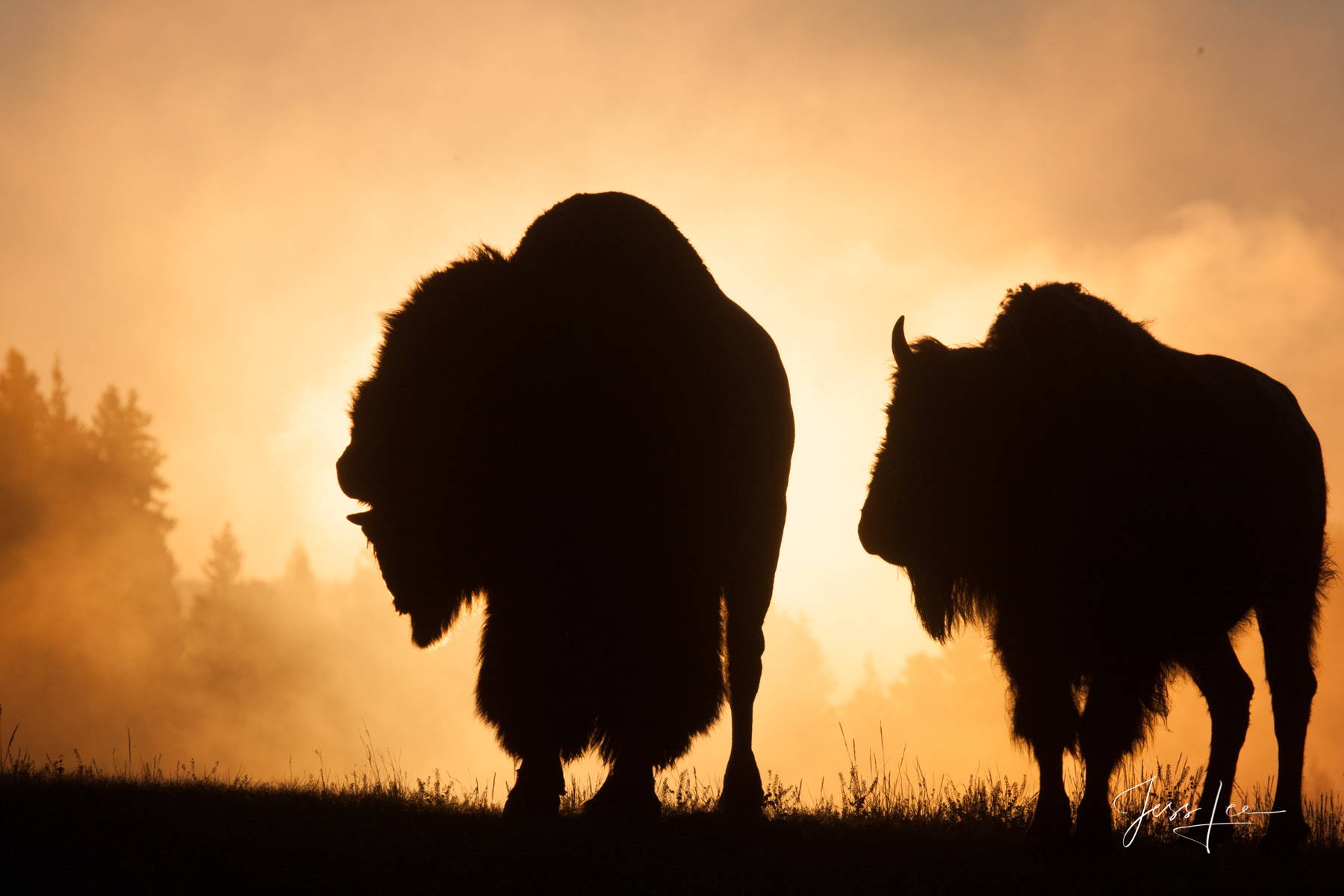 Summer Sunrise during breeding season in Hayden Valley. Yellowstone Bison or American Buffalo.. A Limited Edition of 800 Prints...