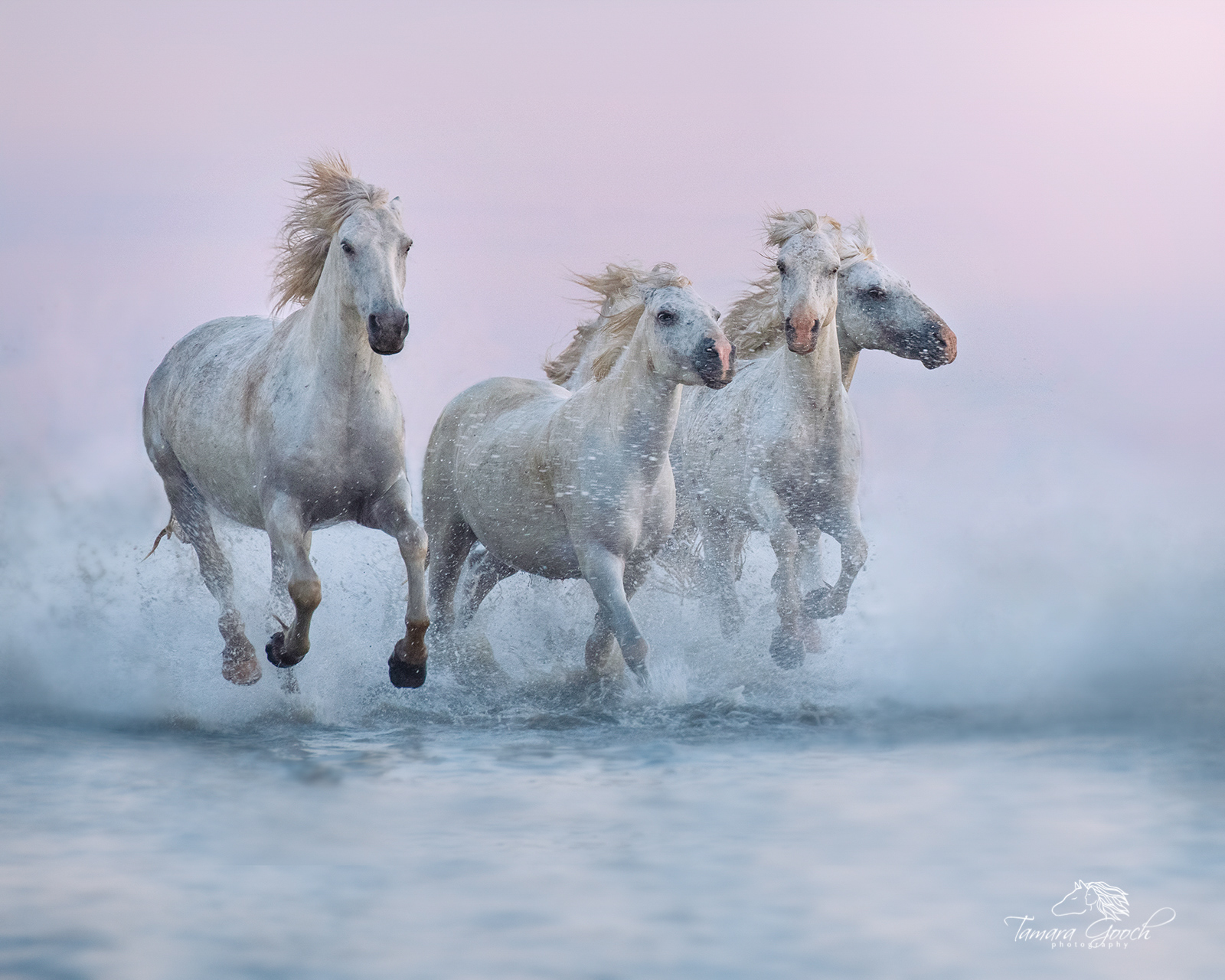 A photo of the white horses of the Camargue running through the water. Provence France.