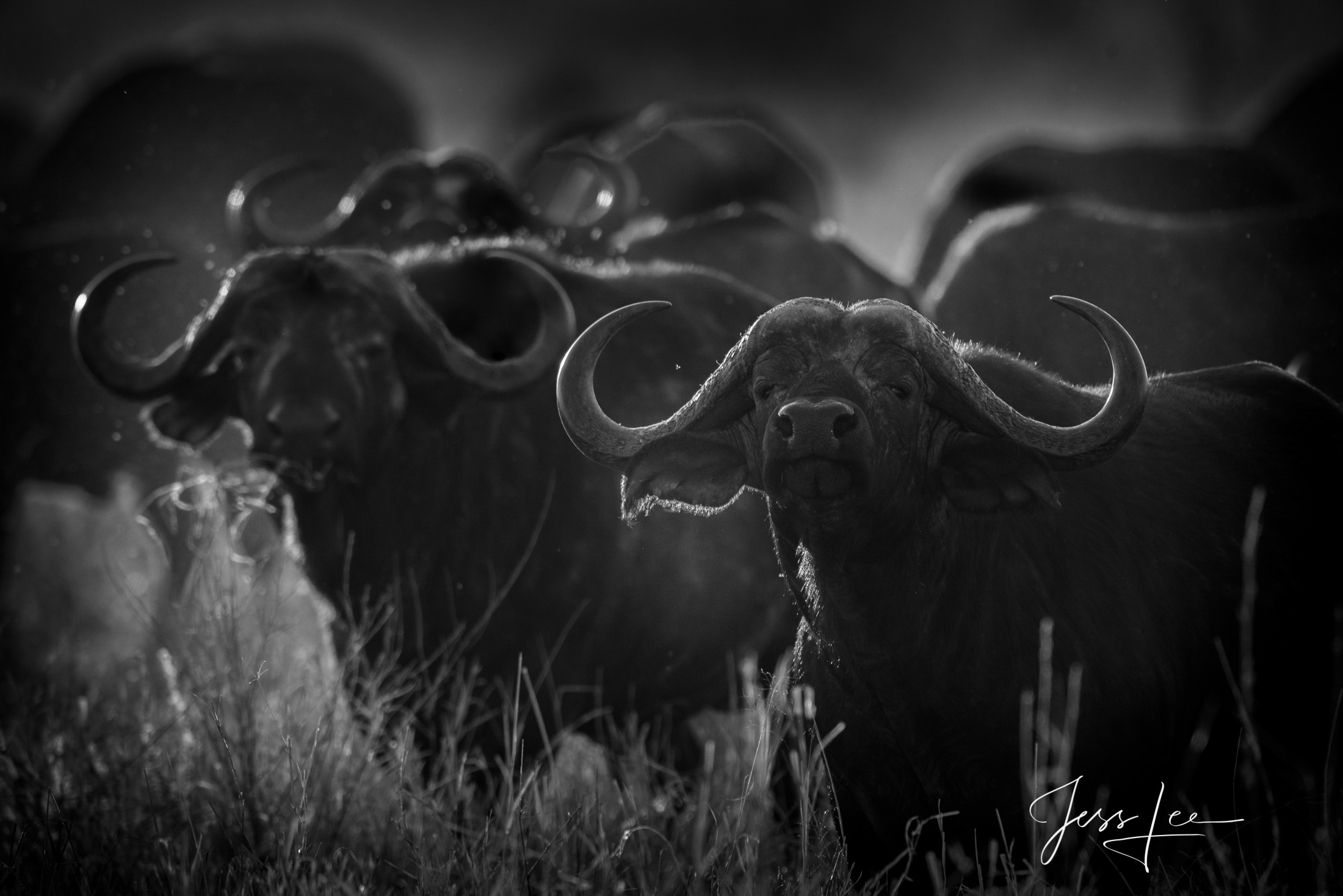Black and White photo of African Cape Buffalo herd.