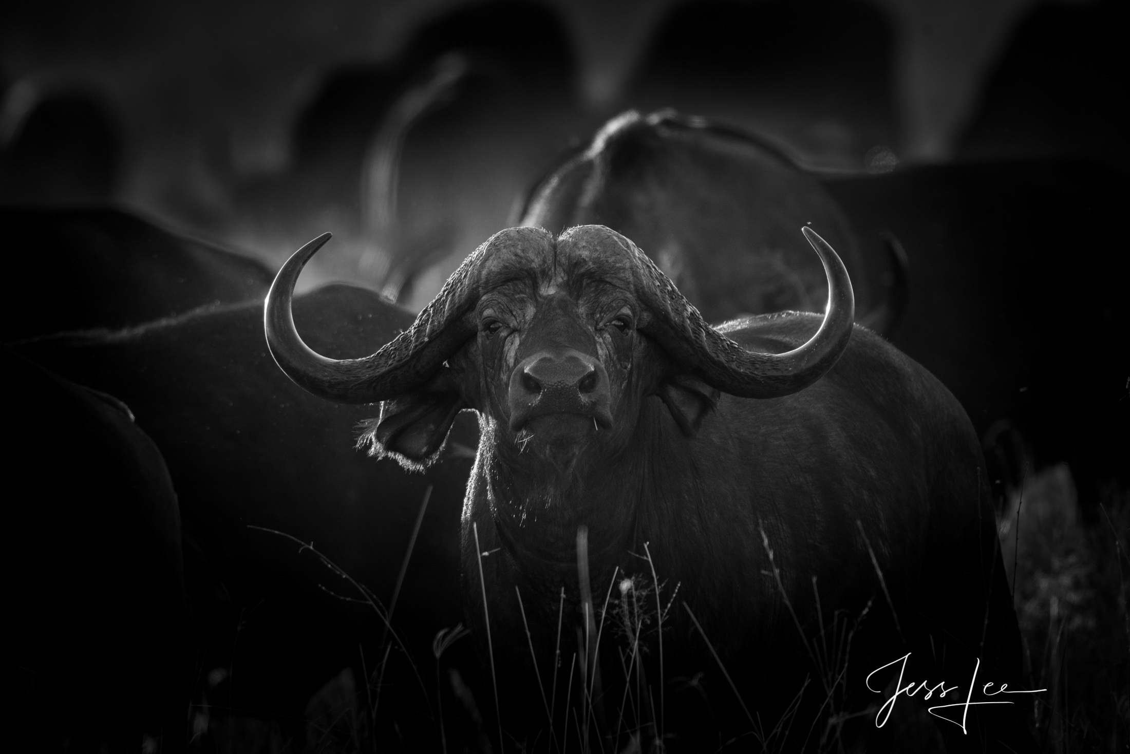 Black and White photo of African Cape Buffalo Bull
