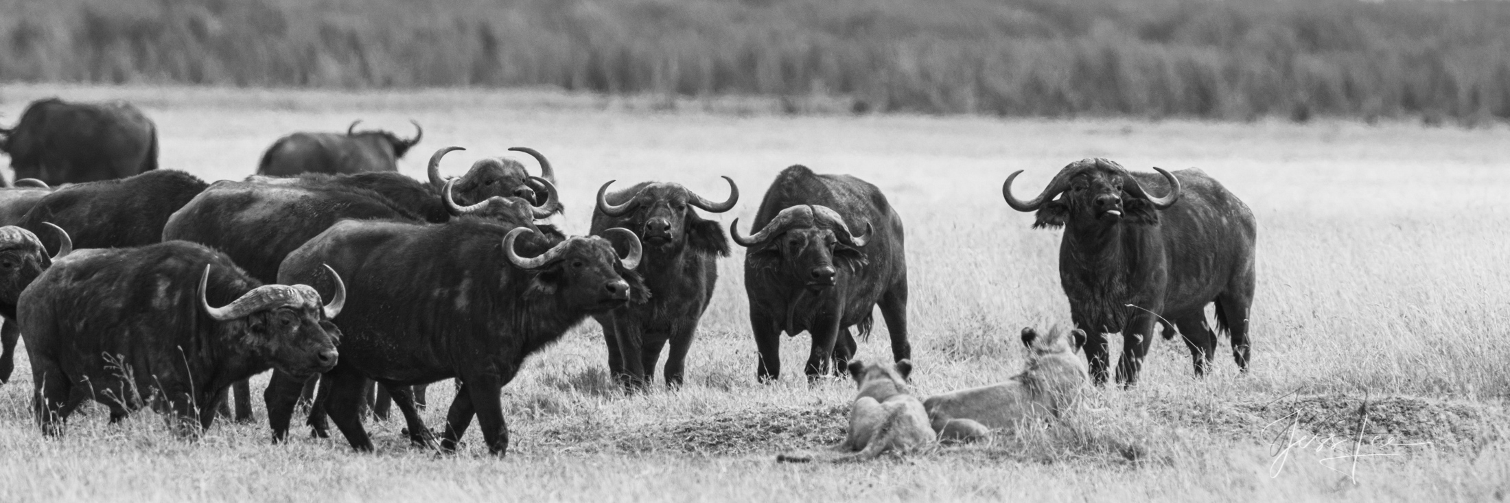 Black and White photo of African Lions being ask to move by Cape Buffalo Herd.